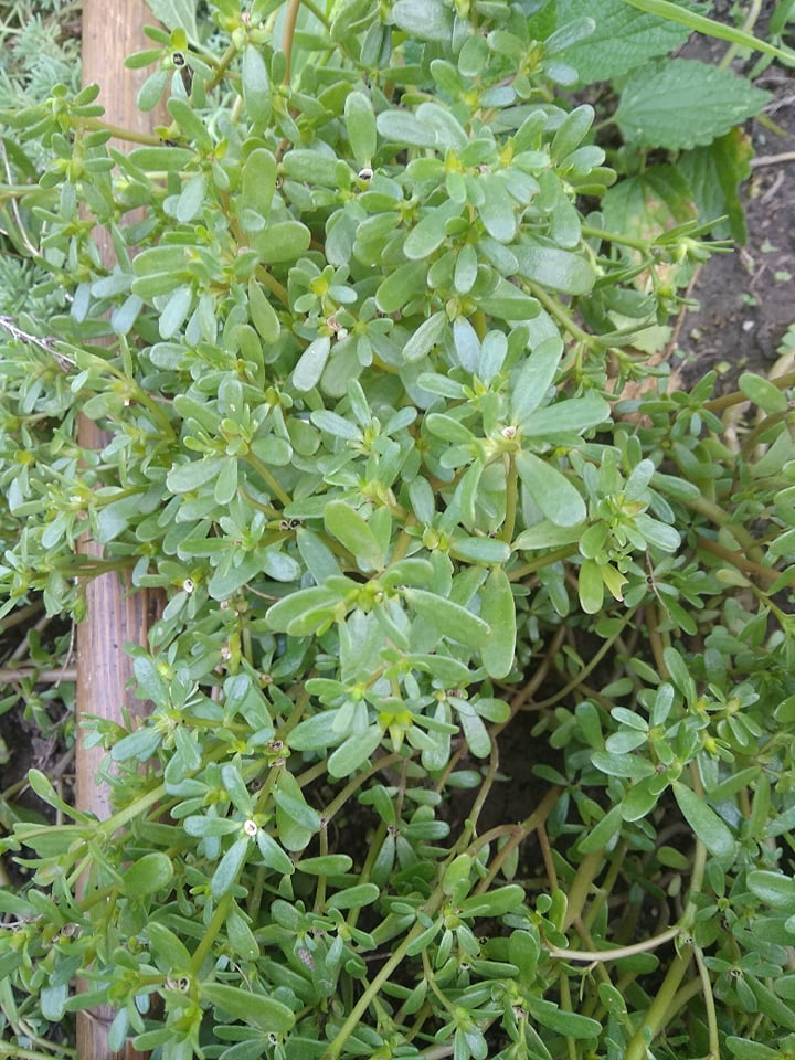 Портулак - съедобоный сорняк.  67952910