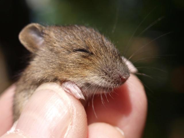 27.02.1254г. О мышиных болезнях и не только Mouse-10