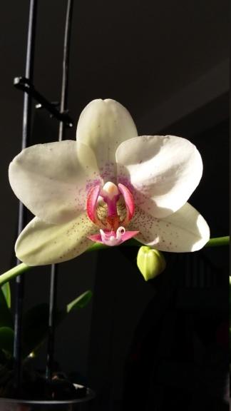Phalaenopsis d'une débutante ! - Page 2 20180713