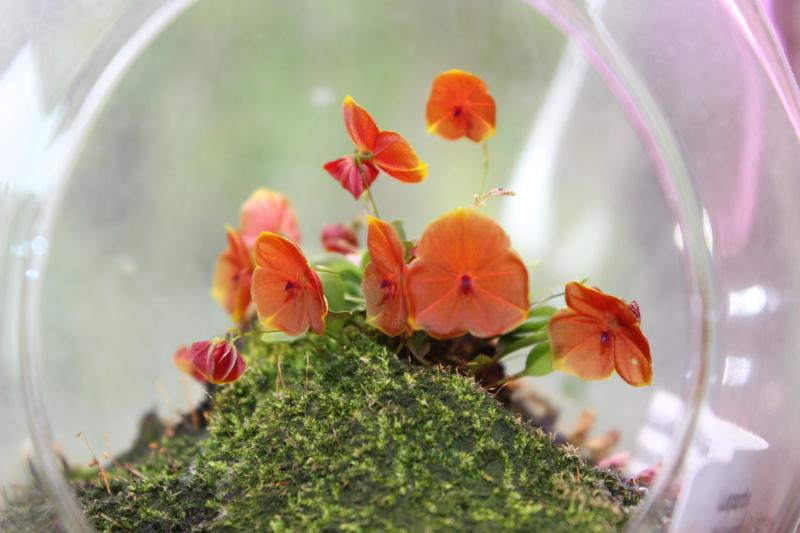 Miniatur-Orchideen Teil 5 - Seite 4 Lepant10