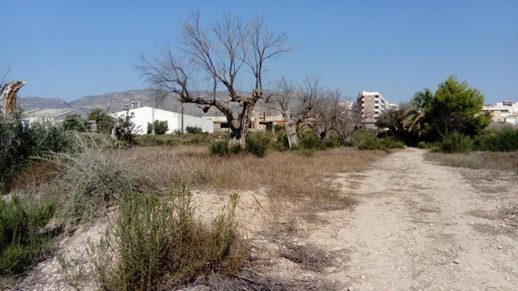 Duda sobre olivar abandonado (Alicante) Dsc_0010