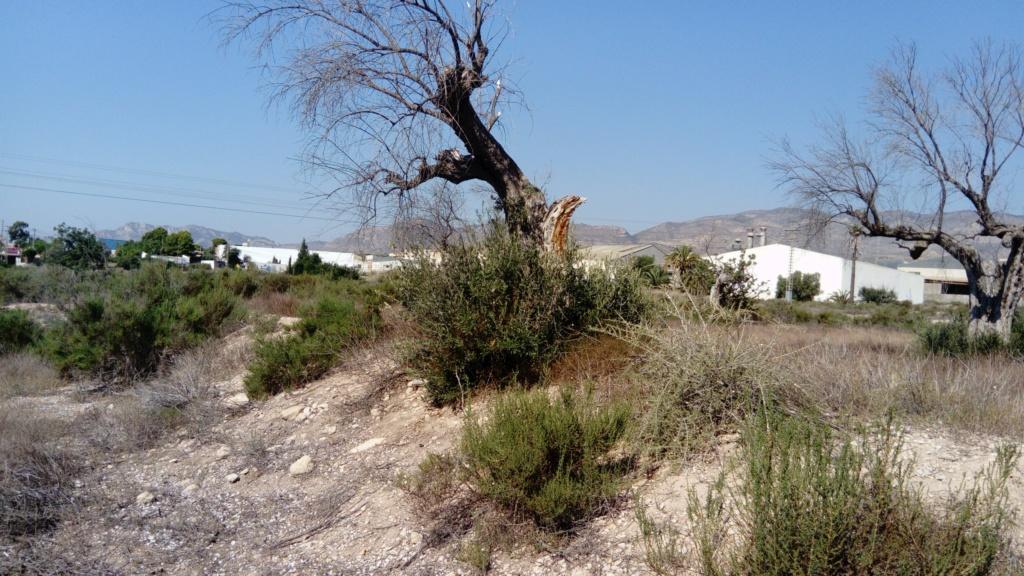 Duda sobre olivar abandonado (Alicante) Dsc_0011