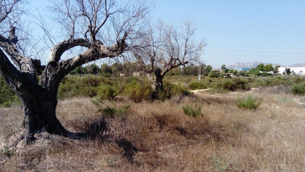 Duda sobre olivar abandonado (Alicante) Dsc_0012