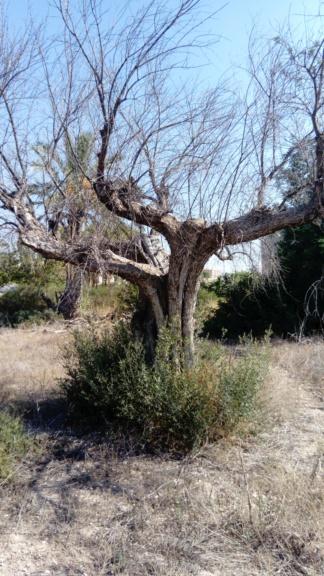Duda sobre olivar abandonado (Alicante) Dsc_0013