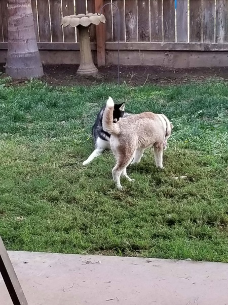 What kind of coat does my husky have? (Woolly, or plush)  20181119