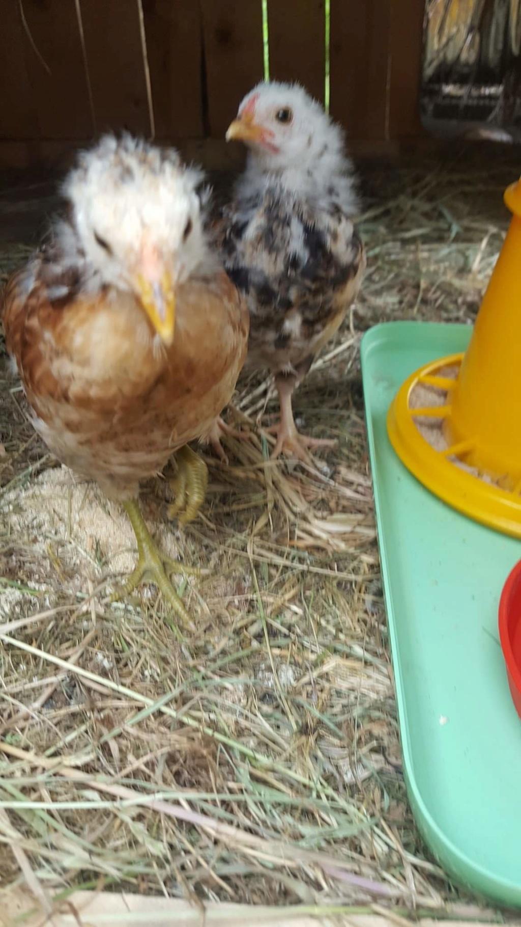 poule araucana au patte verte avec son coq  Fb_img18