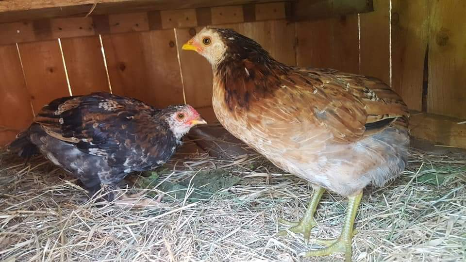 poule araucana au patte verte avec son coq  Fb_img21