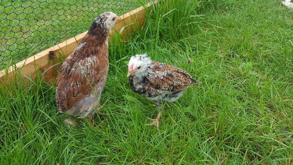 poule araucana au patte verte avec son coq  Fb_img22