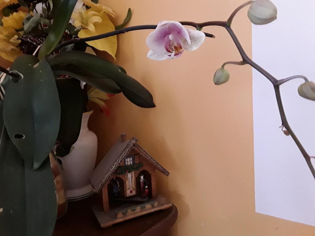 Phalaenopsis - Page 39 20200127