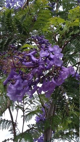 Jacaranda, le plus bel arbre au monde!! - Page 2 20200610