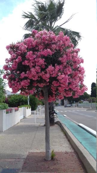 Laurier rose sur tige 20200611