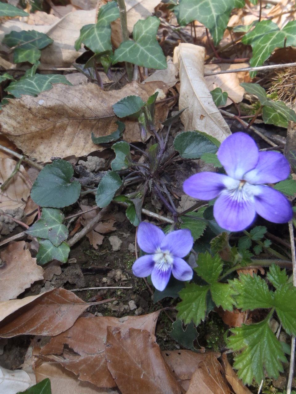 28 mars - balade à moins de 1 km de chez moi Violet10