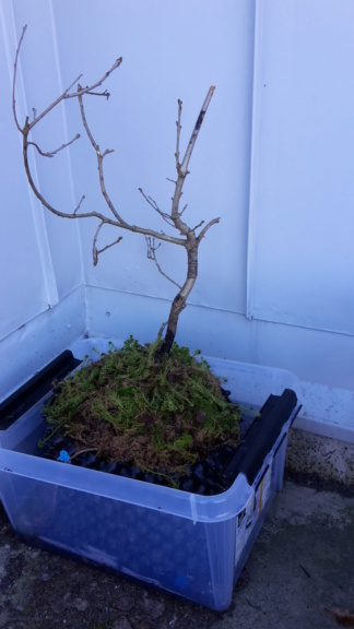 My first tree, Oak (Quercustomers Robur) 20200310