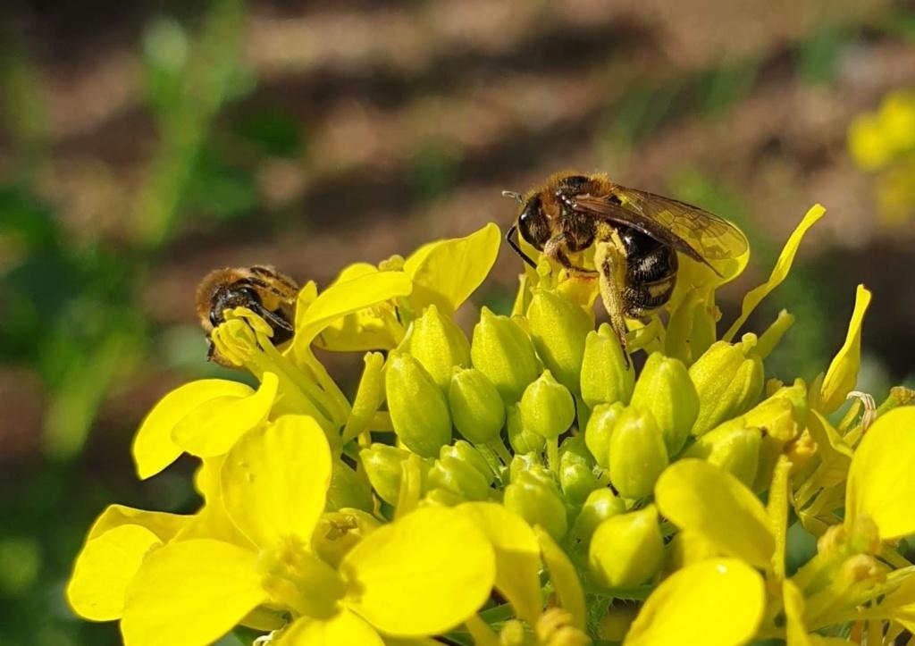 abeille sauvage 1 Abeill11