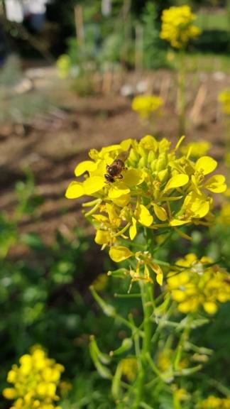 abeille sauvage 1 Abeill14