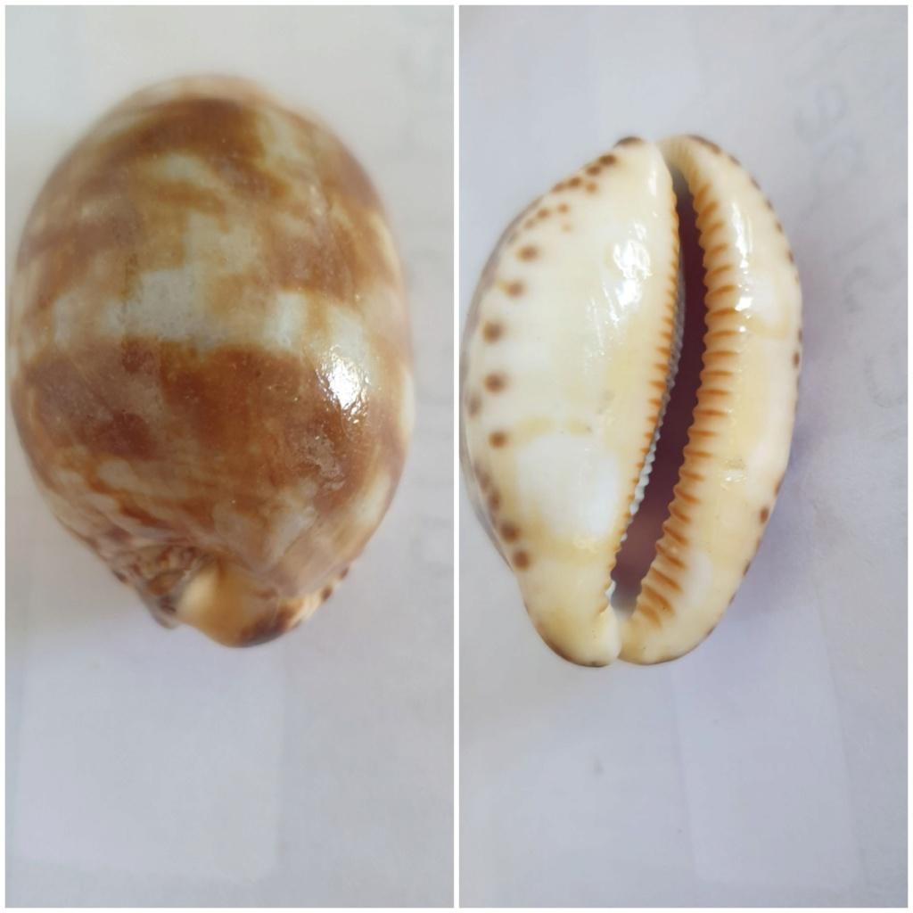 Identification_Cypraea  20200635