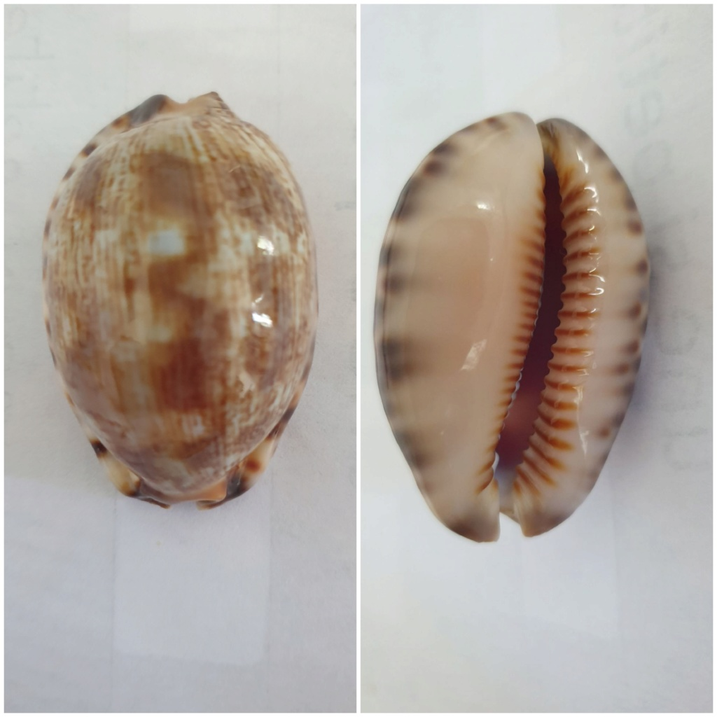 Identification_Cypraea  20200637