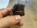 Hoya-Steckling in Kokosfaser-Quelltab 04ead410