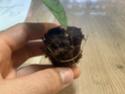 Hoya-Steckling in Kokosfaser-Quelltab 56a79310