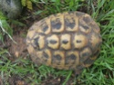 Identification tortue terrestre : male boettgeri ? 110