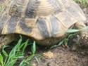 Identification tortue terrestre : male boettgeri ? 310