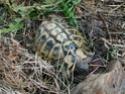 Identification tortue terrestre : male boettgeri ? 410