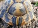Identification tortue terrestre : male boettgeri ? 510