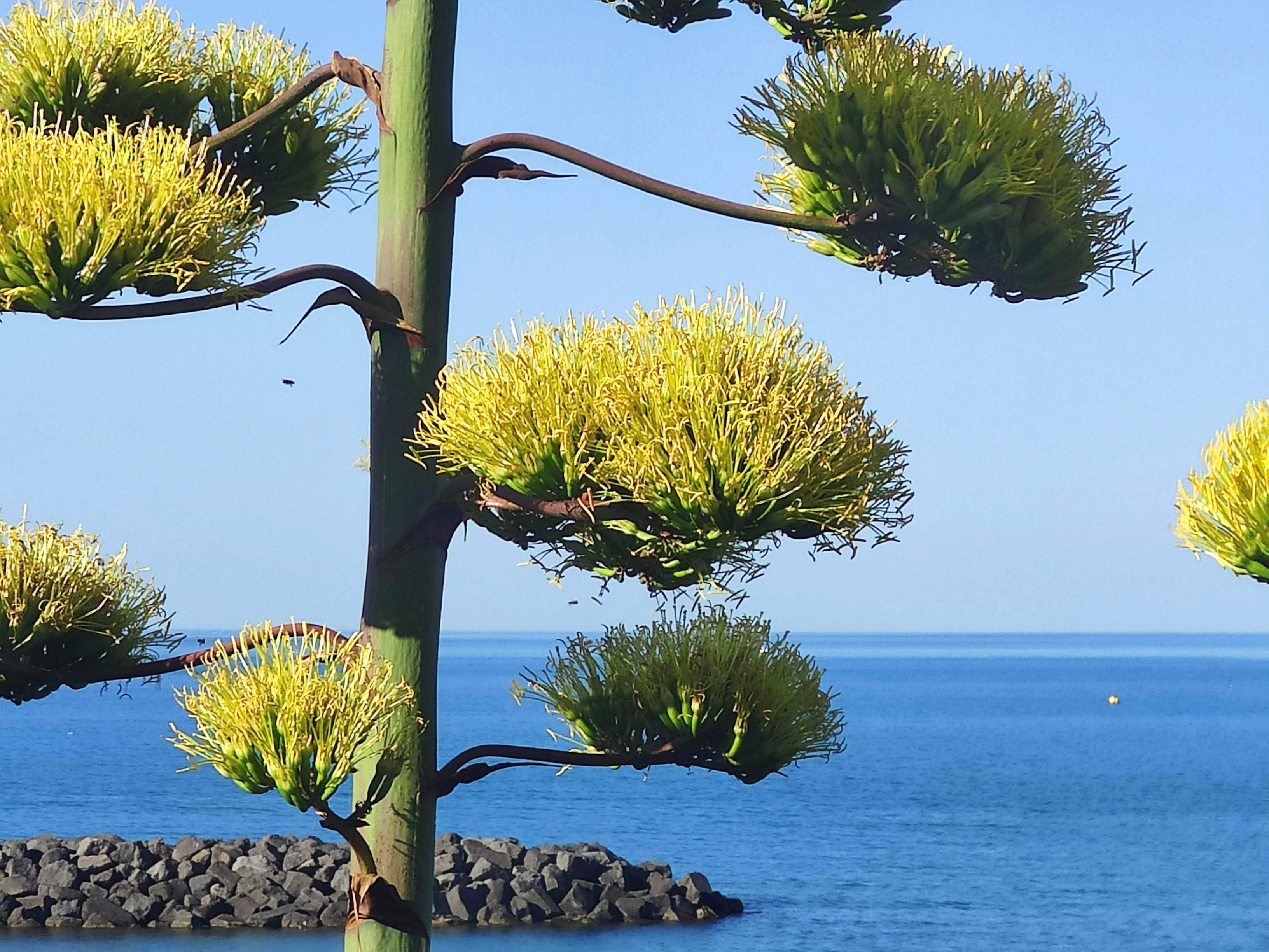 Agave americana  - Page 3 Agave_10