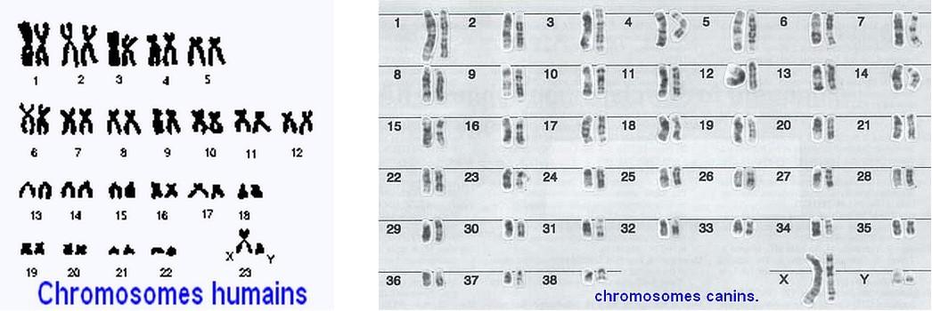 L'elevage en CONSANGUINITE.  Chromo11