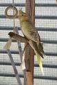 Vente de perruches (ondulée et calopsittes) 20130710