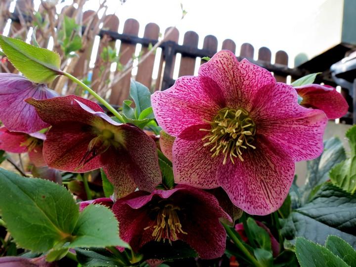 les fleurs dans mon jardin mars,avril 2014 Img_0713