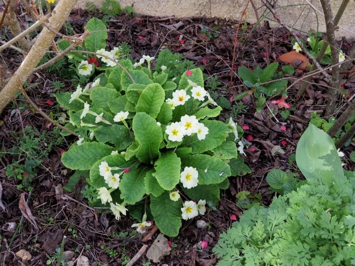 les fleurs dans mon jardin mars,avril 2014 Img_0716