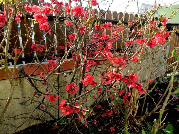les fleurs dans mon jardin mars,avril 2014 Img_0717