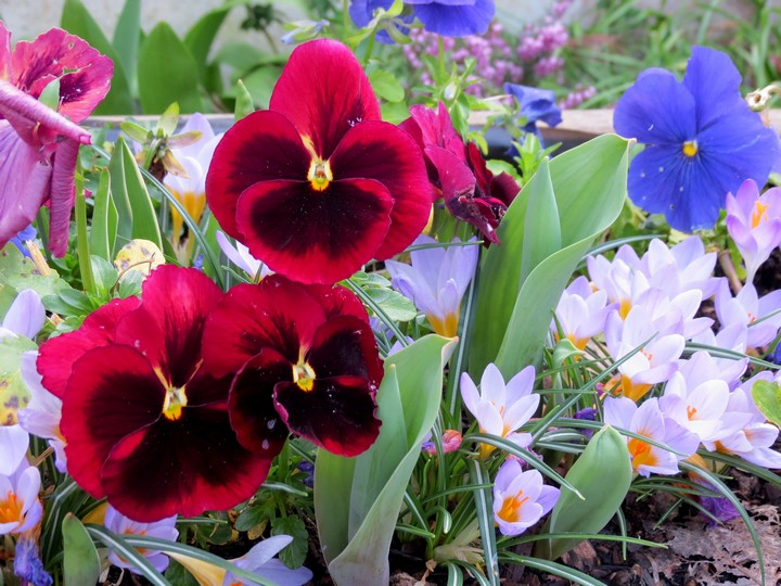 les fleurs dans mon jardin mars,avril 2014 Img_0721