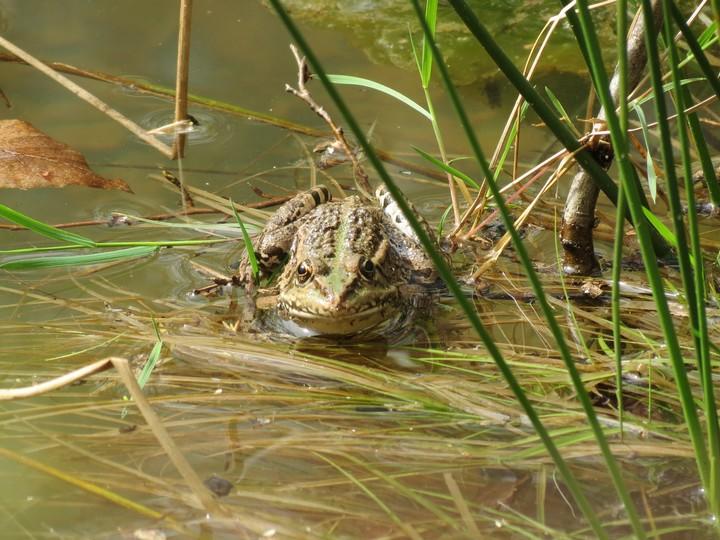 grenouilles  Img_0828