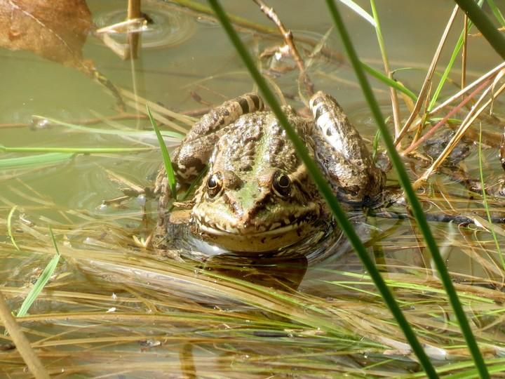 grenouilles  Img_0829
