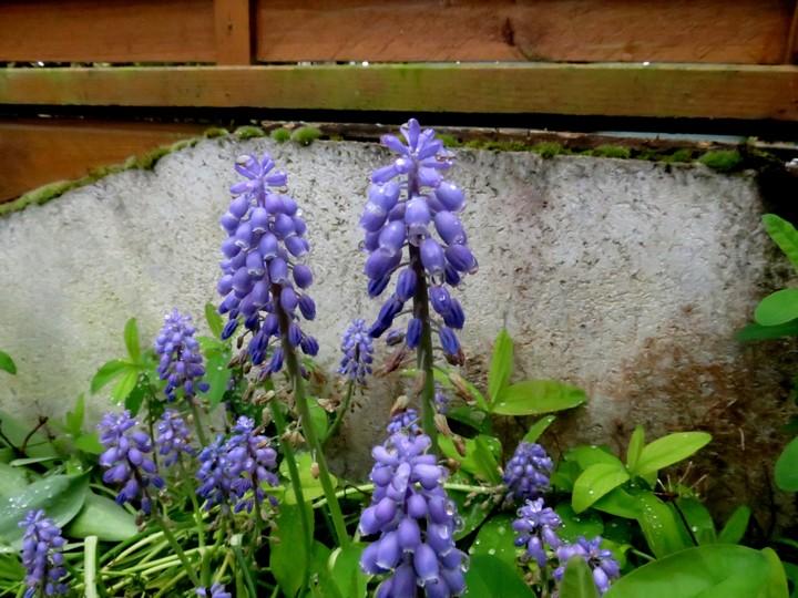 les fleurs dans mon jardin mars,avril 2014 Img_0922
