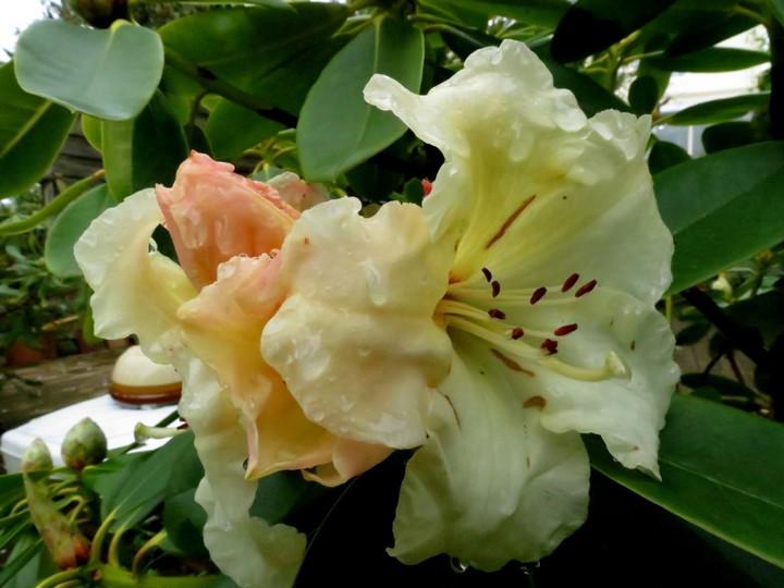 mi mars,début avril mon jardin Img_0939