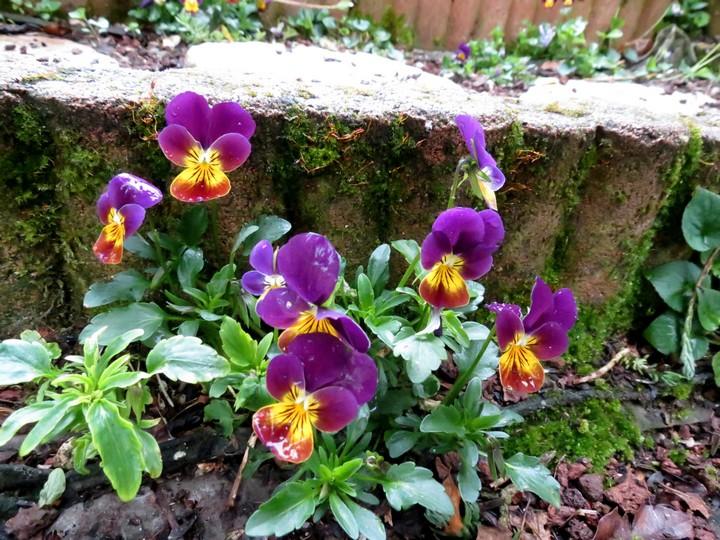les fleurs dans mon jardin mars,avril 2014 Img_1010