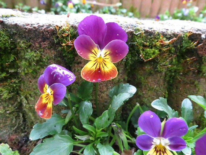 les fleurs dans mon jardin mars,avril 2014 Img_1011