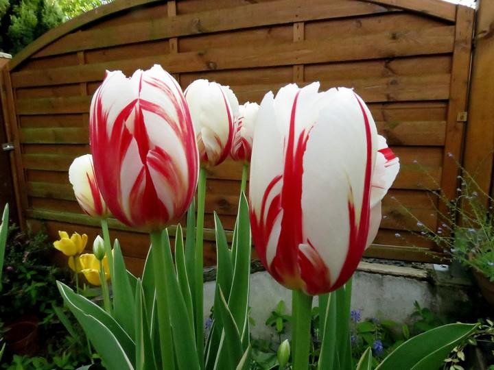 les fleurs dans mon jardin mars,avril 2014 Img_1029