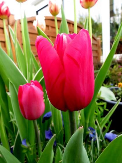 les fleurs dans mon jardin mars,avril 2014 Img_1030