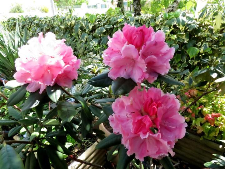 les fleurs dans mon jardin mars,avril 2014 Img_1134