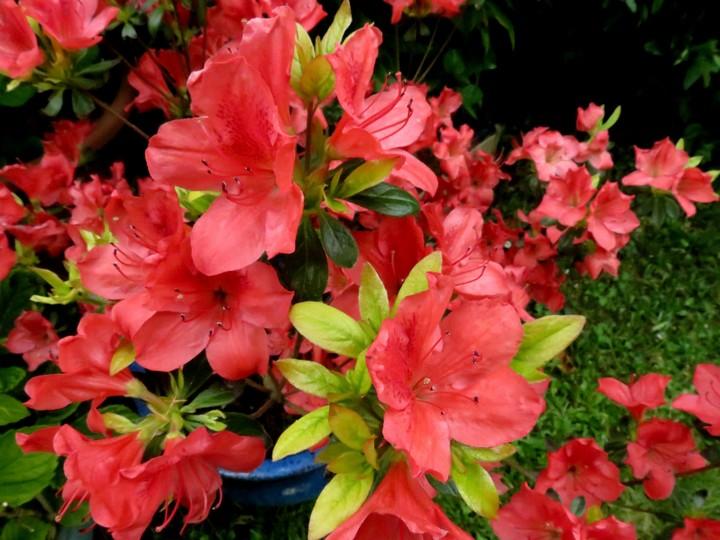 les fleurs dans mon jardin mars,avril 2014 Img_1212