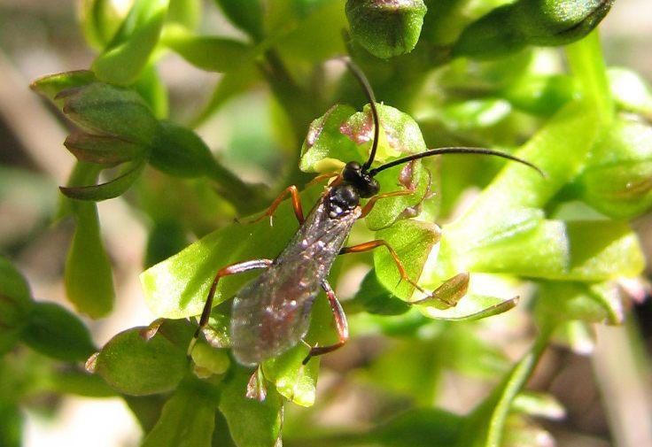 Listère + insecte à identifier Ichneu10
