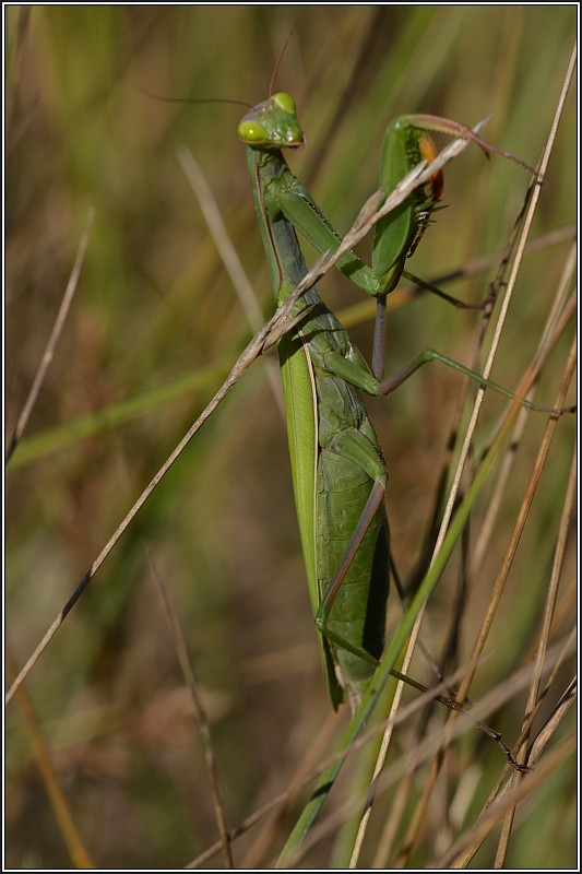 Mante religieuse (Mantis religiosa) Mante_10
