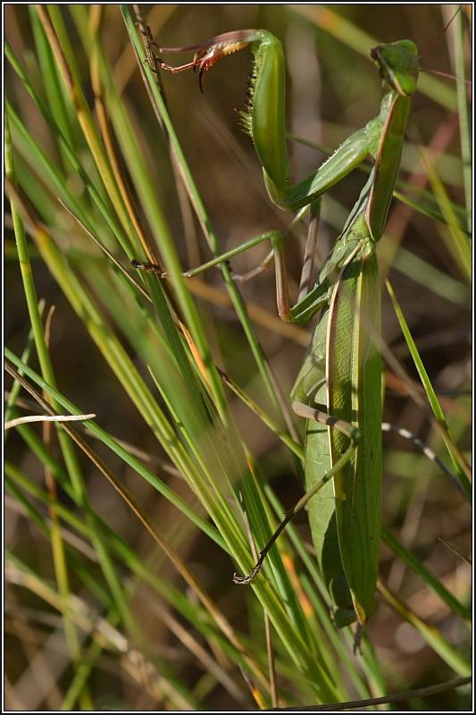 Mante religieuse (Mantis religiosa) Mante_11