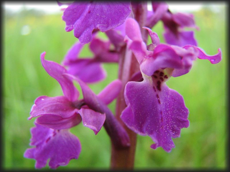 [Orchis mâle (Orchis mascula)] ID orchidée Sana-o11