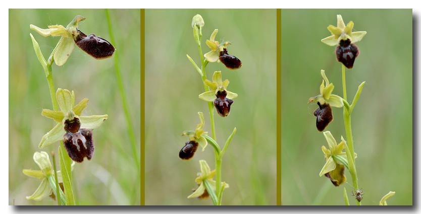 A qui sont ces oeufs ? Ophrys17