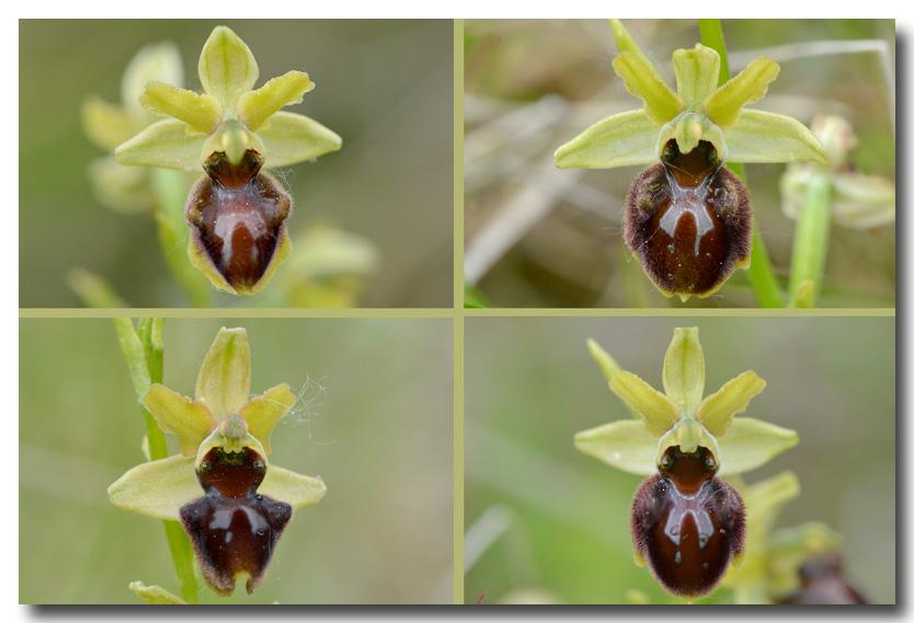 A qui sont ces oeufs ? Ophrys18